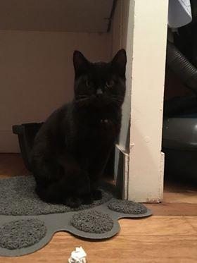 Berlingot - chaton mâle né en juillet 2016