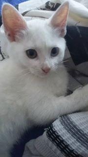 Laly - chaton femelle née en septembre 2016